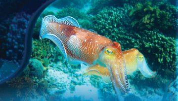 calamarul