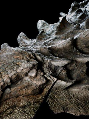 Nodosaur-lge