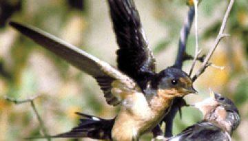 barnswallow