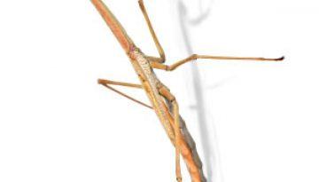 praying-mantis