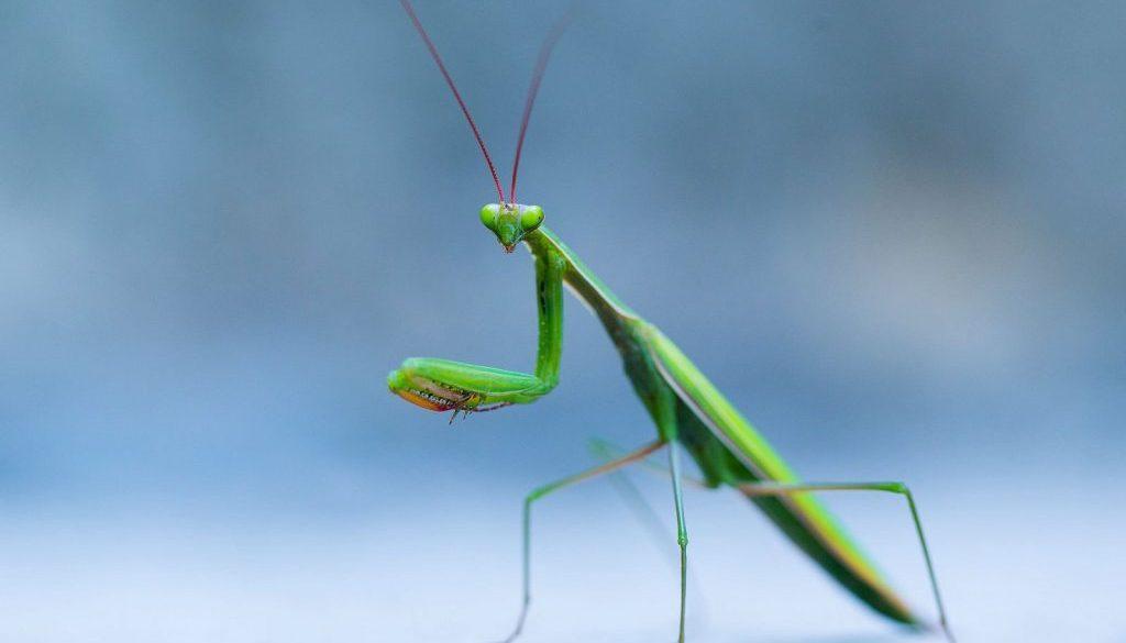 mantis1