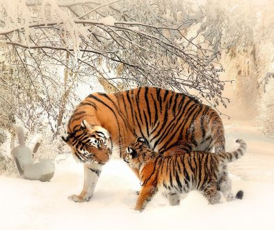 animal-photography-animals-big-cats-39629
