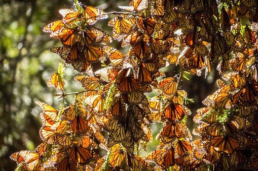 """300 de milioane de fluturi """"monarh"""" călătoresc până la 5.000 km în fiecare an până la un stațiune montană din Mexic. Nu au văzut niciodată aceste ținuturi, însă ei pot ajunge la destinație urmărind câmpul magnetic al pământului."""