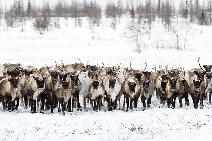Turme de reni migrează distanțe mai mari decât orice alt animal care locuiește pe pământ - până la 5000 km în fiecare an. În lunile de vară, copitele lor necesită pernute mai mari, asemănătoare cu bureții, pentru a naviga pe teren umed, alunecos. În timpul iernii, aceste permute-tampon se micsorează, astfel încât copitele mai ascutite să poată apuca gheața.