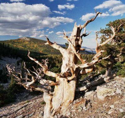 Pinus longaeva. Un specimen al pinului Bristlecone (Pinus longaeva), localizat în Munții White din California