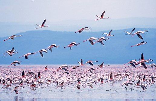 Stoluri imense de păsări flamingo migrează din lac în lac în Africa de Est, în căutare de alge care cresc din abundență în acele locuri. Câte două milioane se adună la locul lor preferat, Lacul Nakuru din Kenya.