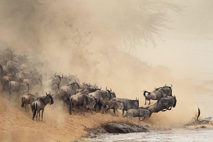 Conduse de dorința de a găsi noi locuri proaspete de pășunat, peste un milion de animale sălbatice plonjează cu hotărâre prin toate obstacolele întâmpinate în circuitul lor anual de 1600 de km din zona Serengeti din Africa.