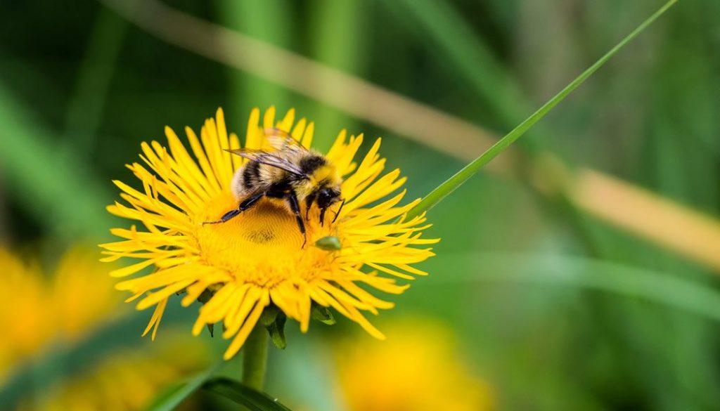 honeybee-on-dandelion