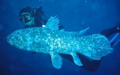 Celacantului (Coelacanthus Latimeria), traieste bine-mersi si astazi alaturi de oameni. Doar milioanele de ani nu se potrivesc