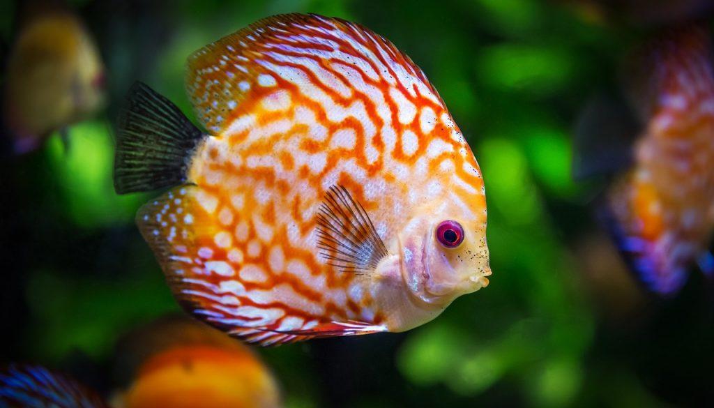 discus-fish-1943755_1280
