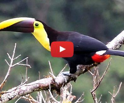 pasari-din-Costa-Rica
