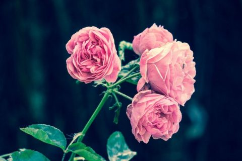 pink-roses-2533389_1280