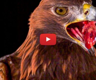 vulturul-auriu