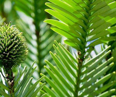 copac-australian-senzational2