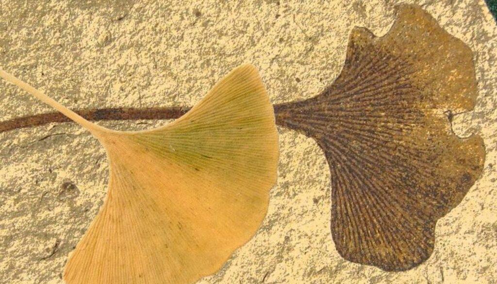 fosile-vii5
