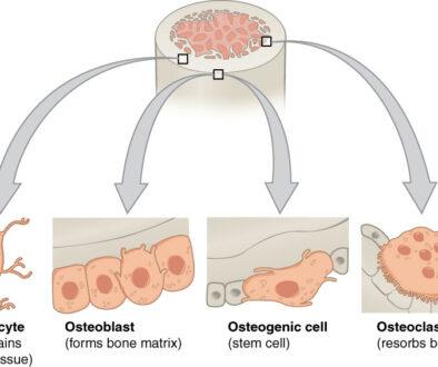proteina-formarea-oaselor3