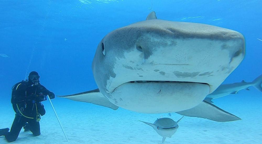 Dimensiunea unui rechin în comparațiue cu dimensiunea unui om