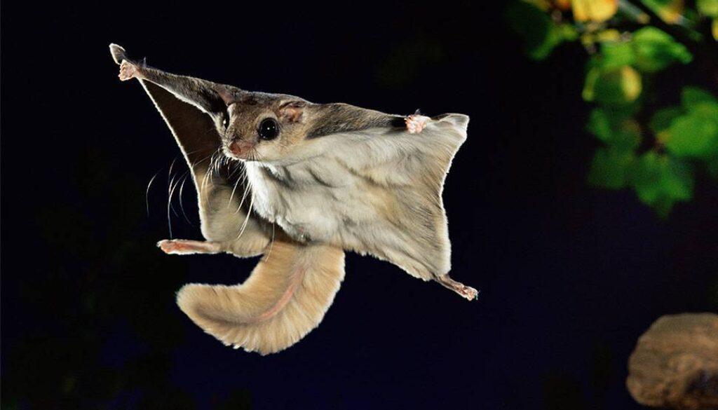 veveritele-zburatoare