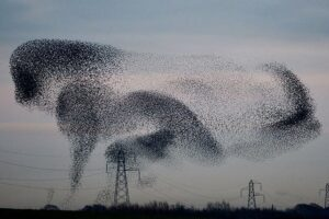 starling-murmuration-animal-shape