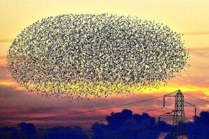 starling-murmuration-sunset