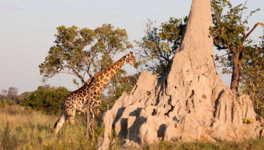 Enormele-mușuroaie-de-termite-din-Delta-Okavango-4_red_compressed