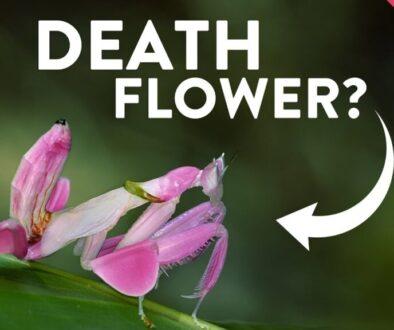 orhideea-mantis