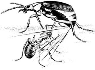 Figura 2. Gândac bombardier pulverizând asupra unei furnici
