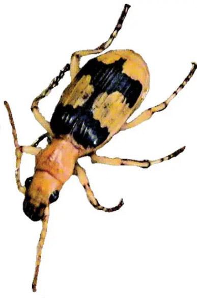 Figura 1. Gândacul bombardier African (Stenaptinus insignis)