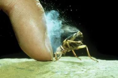 Figura 3. Un gândac bombardier ce își expune turela care îi permite să stropească peste spate