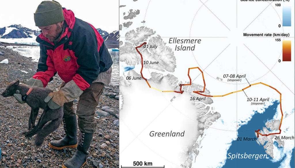 vulpea-arctica-calatoare