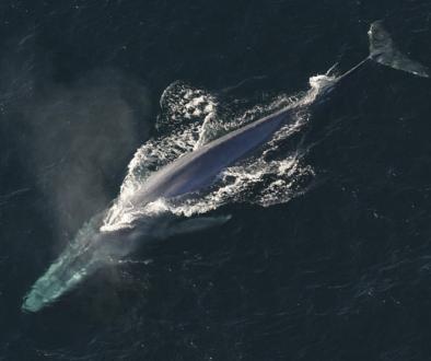 balena-albastra2