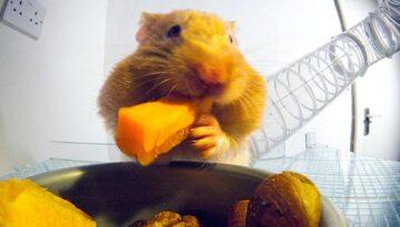 hamsteri-hrana1