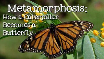 metamorfoza-omida-fluture