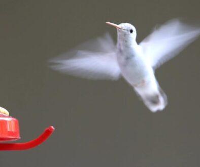 uimitoarea-pasare-colibri1