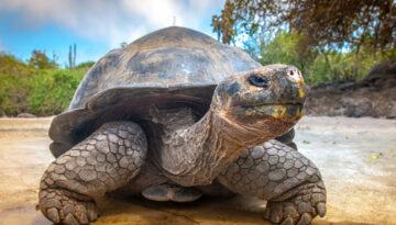 Broasca testoasa de Galapagos