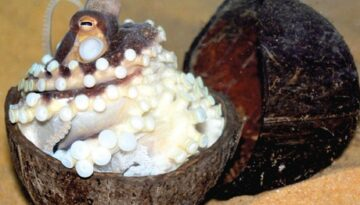 caracatita de nuca de cocos