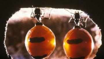 furnici-miere1